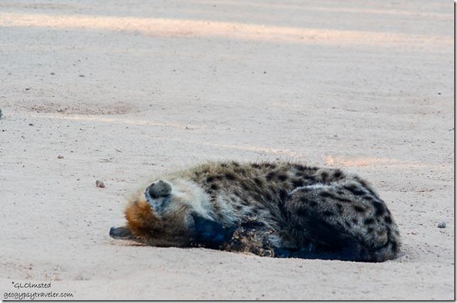 Hyena Kruger National Park South Africa