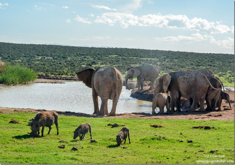 Elephants & warthogs at the waterhole Addo Elephant National Park South Africa