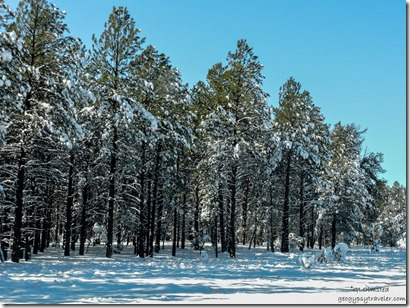 Snow ponderosa pines I40 West Arizona