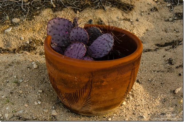 Purple cactus in terra cotta pot Buzzards Roost Joshua Tree California