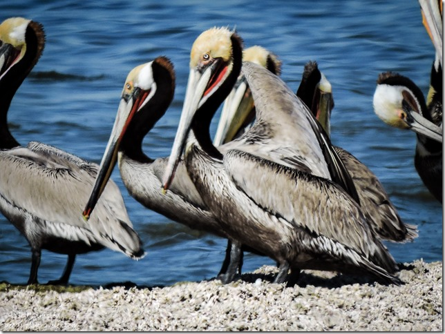 Brown pelicans Corvina Beach Salton Sea Senic Recreation Area California