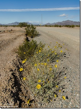 Wildflowers BLM US95 South of Quartzsite Arizona