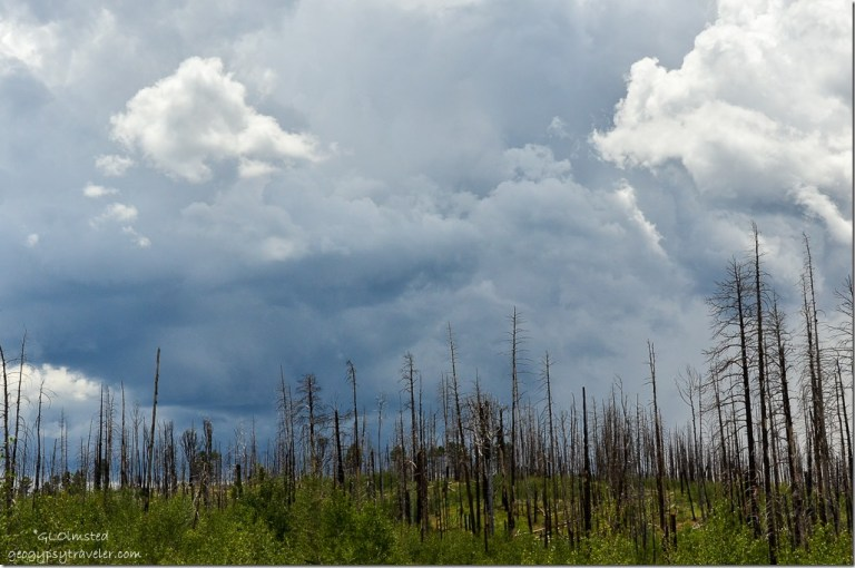 Storm clouds over Warm fire standing dead forest Kaibab National Forest Arizona