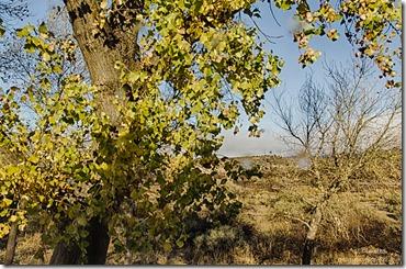 Late leaves cottonwood from RV Kirkland Arizona