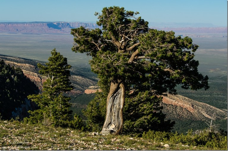 Wind blown pinyon pine from Marble View Kaibab National Forest Arizona