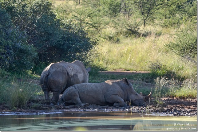 Two rhinos by waterhole Pilanesberg Game Reserve South Africa