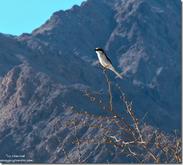 Loggerhead shrike Mesquite Flat sand dunes Death Valley National Park California