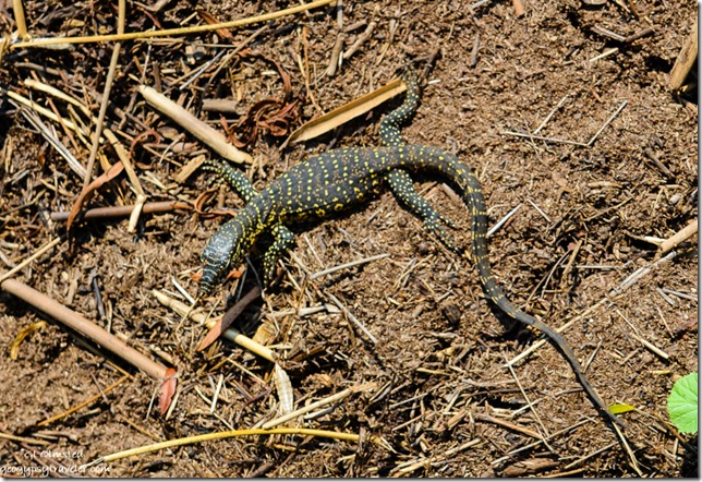 Baby water monitor Pilanesberg Game Reserve South Africa