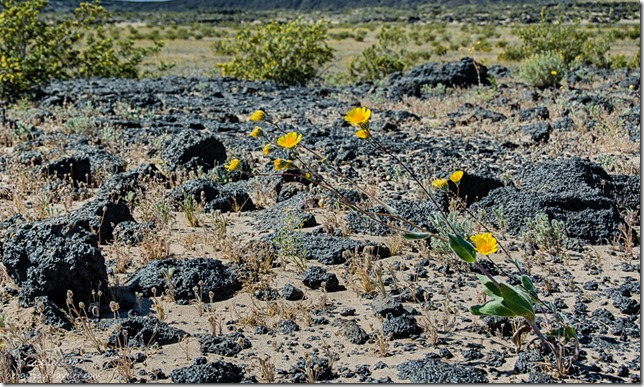 sunflowers Amboy Crater Mojave Trails National Monument BLM California