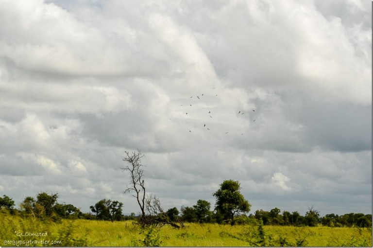 Birds soaring Kruger National Park South Africa