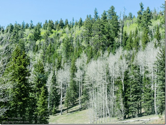 aspen and evergreen forest SR67 North Rim Grand Canyon National Park Arizona