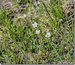 Meadow chickweed Crane Lake Kaibab National Forest Arizona