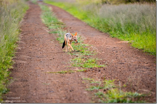 Black-backed Jackal Kruger National Park South Africa