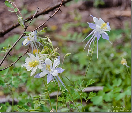 Colorado columbine Cape Royal Road North Rim Grand Canyon National Park Arizona