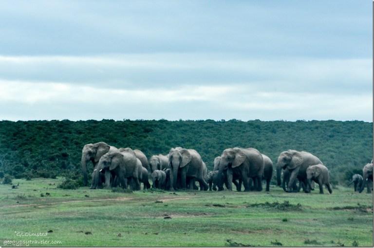 Elephants headed to waterhole Addo Elephant National Park South Africa