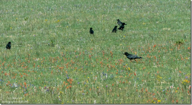 Ravens wildflowers FR22 Kaibab National Forest Arizona