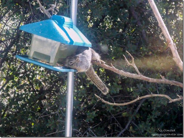 Squirrel on feeder Yarnell Arizona