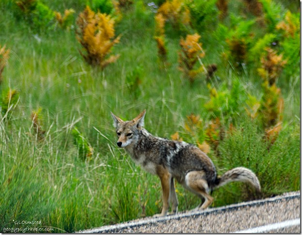 coyote Cape Royal Road North Rim Grand Canyon National Park Arizona
