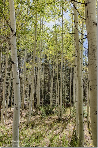 fall aspen FR462 Kaibab National Forest Arizona