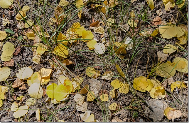 fall aspen leaves on ground FR462 Kaibab National Forest Arizona