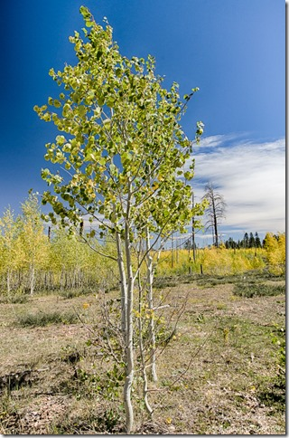 fall aspen 2006 Warm burn FR429 Kaibab National Forest Arizona