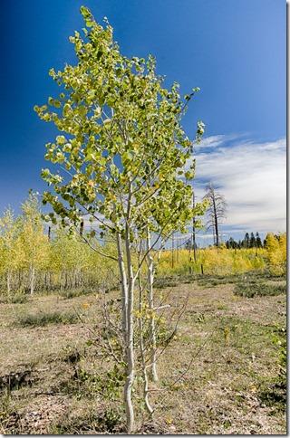 fall aspen 2006 Warm burn FR429 Kaibab National Forest Arizona