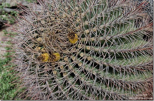 Barrel cactus Darby Well Road BLM Ajo Arizona