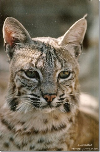 Gracie bobcat CALM Bakersfield California