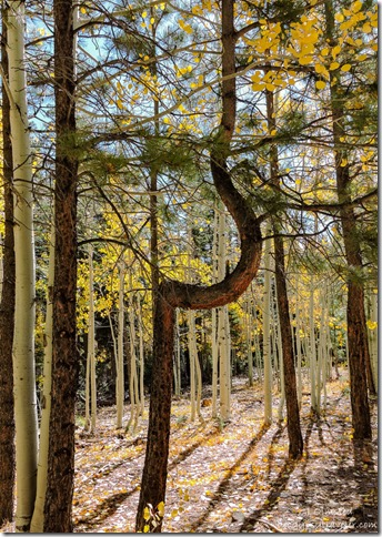 curved ponderosa pine fall colors FR219 Kaibab National Forest Arizona