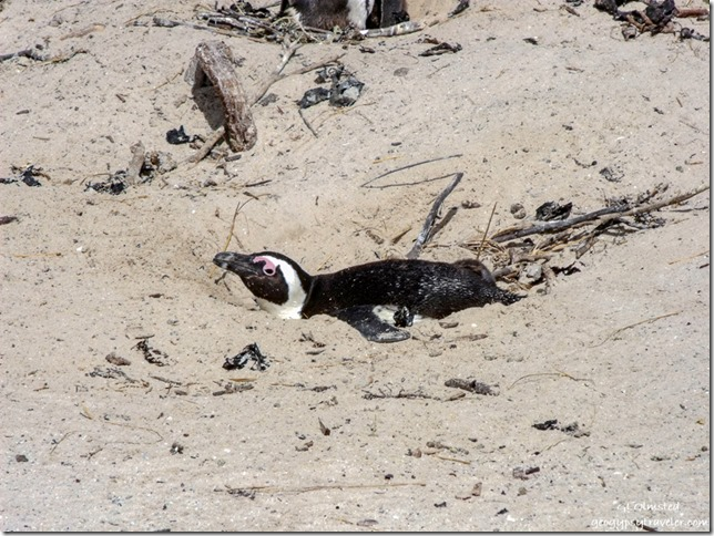 Penguin on nest Boulders Table Mountain National Park Simon's Town Cape Peninsula South Africa