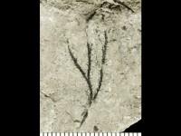 Dendrograptus sp., GIT 539-48-1