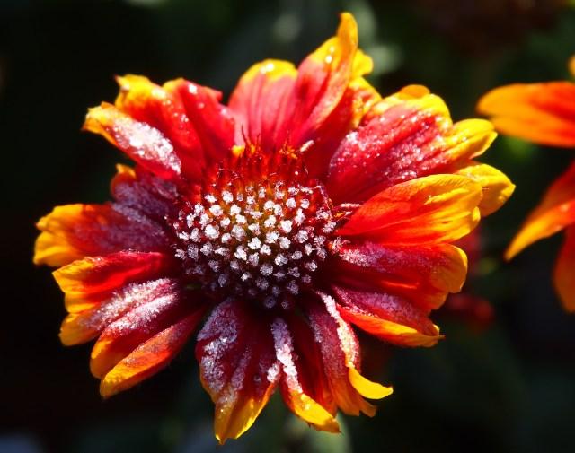 Arizona blanket flower