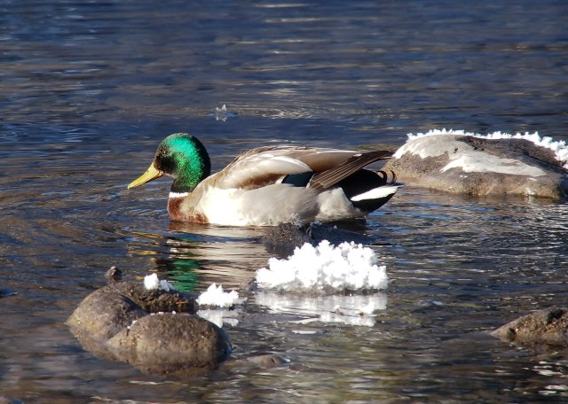 After Mrs. GeoK startled the sunning Mallard duck, he slipped into the creek and paddled away into the sunlight - bringing both his distinctive green head colouring and blue speculum wing patch into full view.