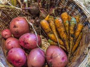 Late August afternoon root vegetable harvest