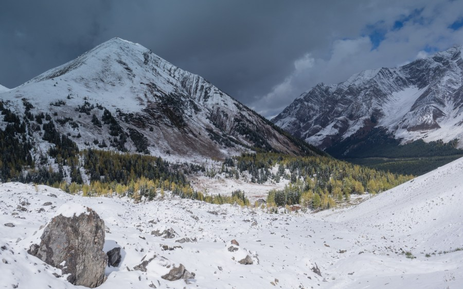 Larch-in-snow