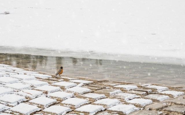 Male-American-robin-in-snow