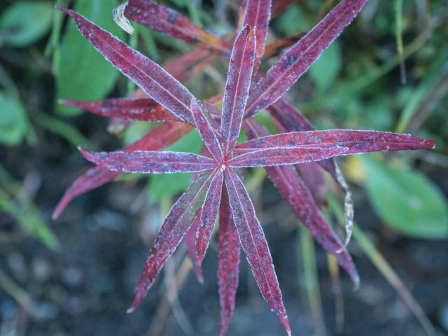 frost on fireweed