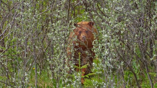 black bear across Cascade River