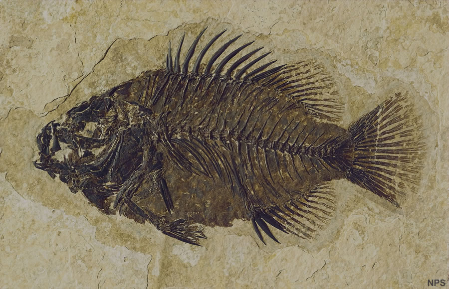 Image result for fossil fish