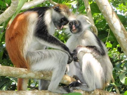 Red Colobus Monkeys. Image from Wikipedia.org.