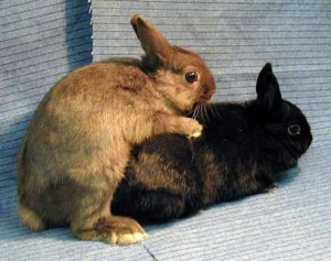 Image result for rabbits mating