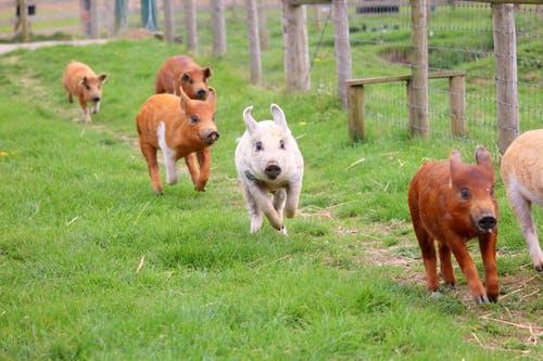 Pigs running in grass