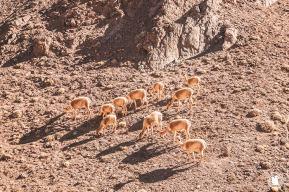 Des vigognes