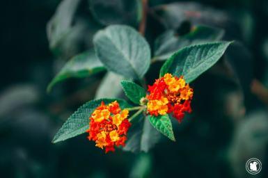 De belles fleures à Iguazu, Argentine