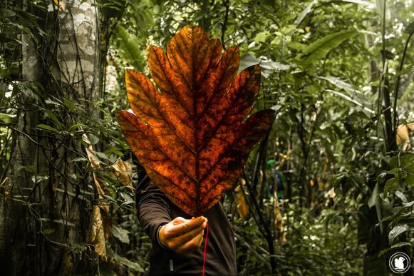 Grande feuille morte dans la jungle amazonienne