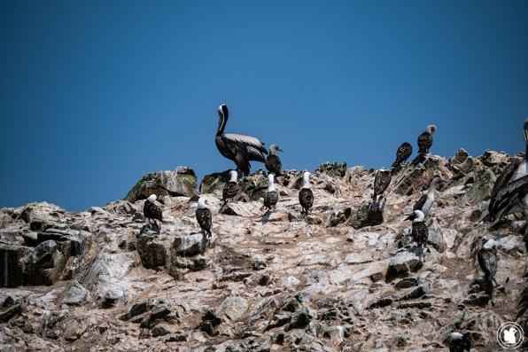 Oiseaux de la réserve Naturelle des îles Ballestas à Paracas