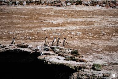 Manchot de Humboldt de la réserve Naturelle des îles Ballestas à Paracas