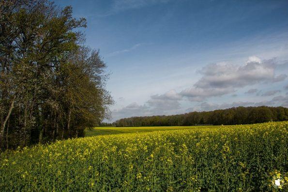 Les beaux champs de colza en Vallée de Chevreuse