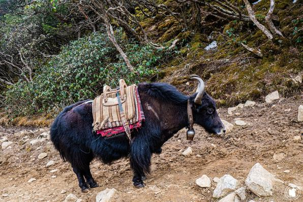 Trek des 3 cols - Premier yak vu !