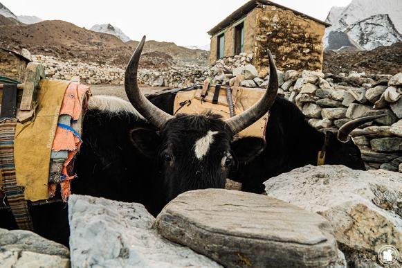 Trek des 3 cols - Bonjour yak !